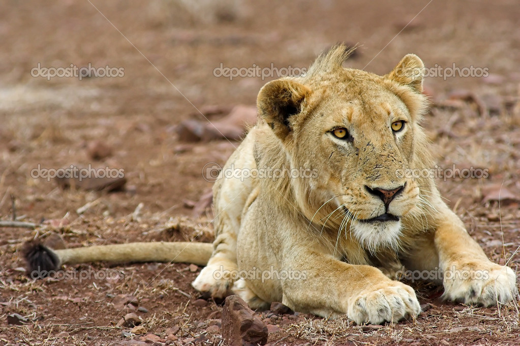 Portrait of a lion. The shot was taken in Kruger Park, South Africa. — Stock Photo #9073290
