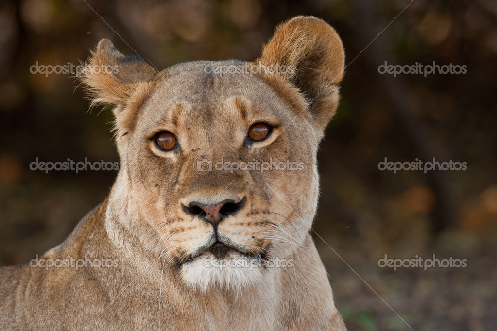Portrait of a wild lion in southern Africa. — Stock Photo #9074910