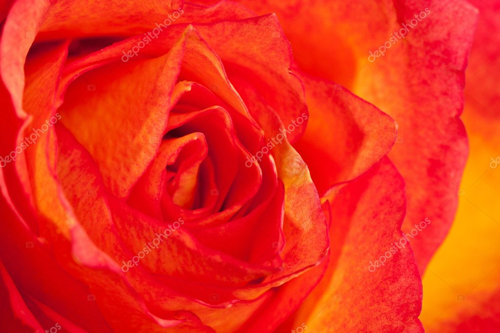 Extreme macro shot of an orange rose — Stock Photo #9075140