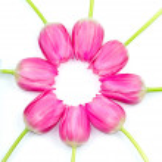 růžové tulipány — Stock fotografie