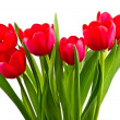 Red tulips,isolated — Stock Photo
