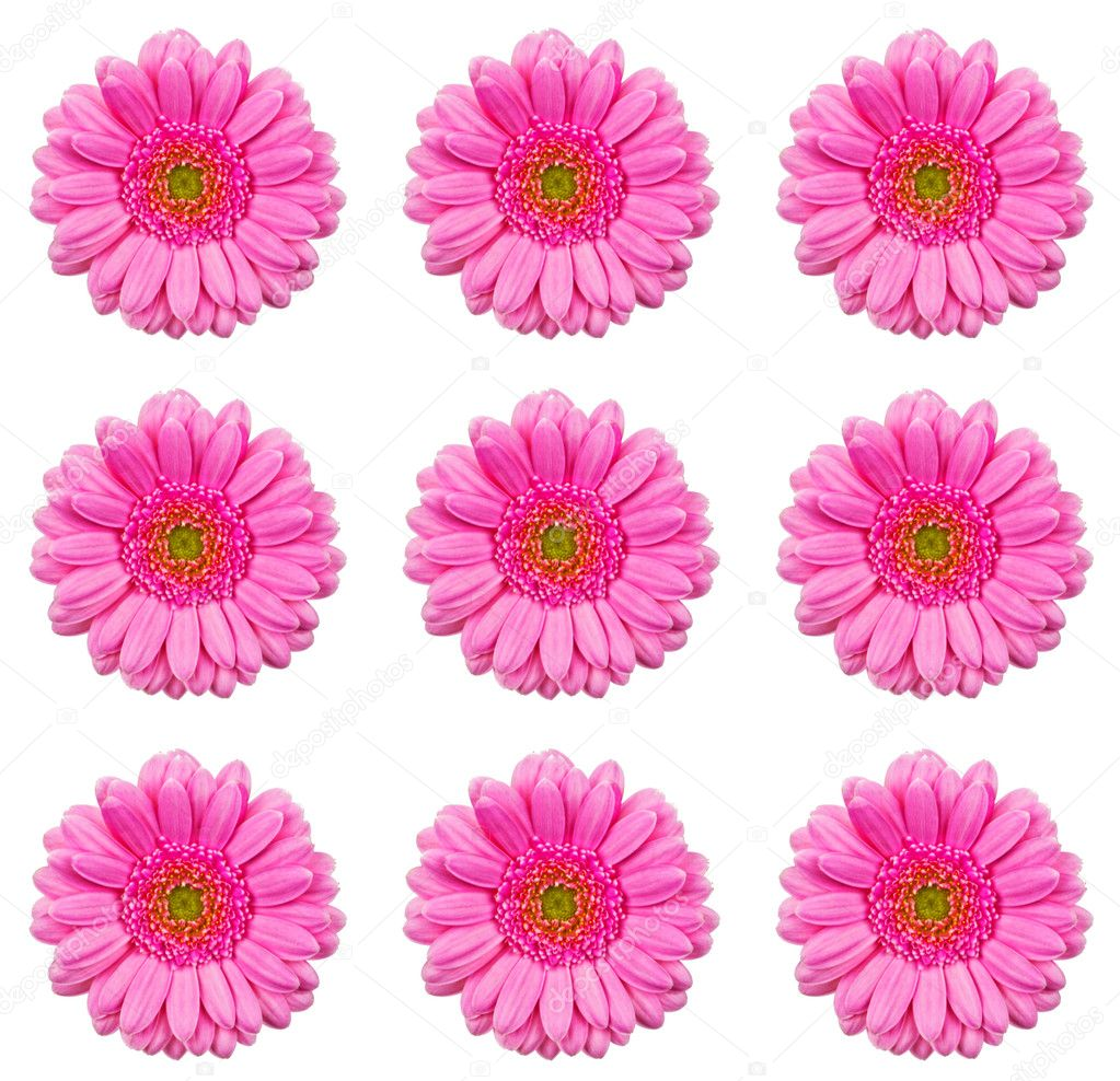 Closeup of gerbera flower isolated on white background. — Stock Photo #9121384