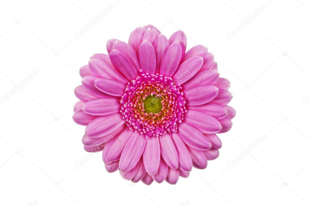 Closeup of gerbera flower isolated on white background. — Stock Photo #9121404