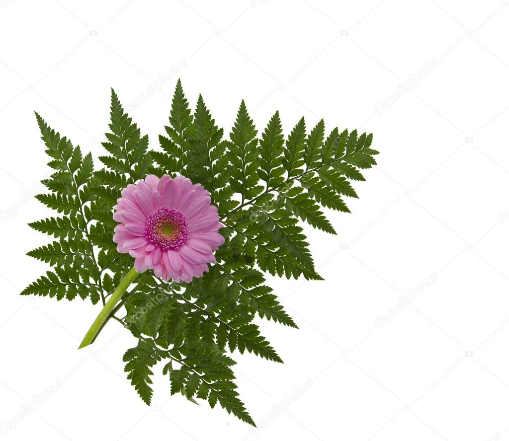 Closeup of gerbera flower isolated on white background. — Stock Photo #9121419