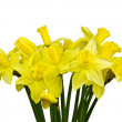Stock Photo: Yellow narcissus,Isolated