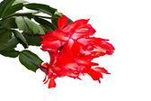 Kwiat kaktusa — Zdjęcie stockowe