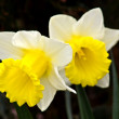 White narcissus on grass - Stock Photo