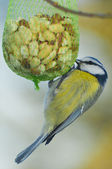 Blue tit eats nuts — Stock Photo