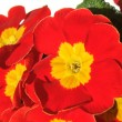 Red Primulas - Stock Photo