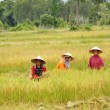 Rice Farmers — Stock Photo