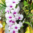 Orchid — Stock Photo #9599700