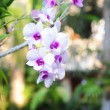 Orchid — Stock Photo #9599749