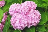 Hydrangea macrophylla — Stock Photo
