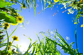 Green grass with flowers on the sky background — Stock Photo