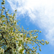Blooming spring tree — Stock Photo