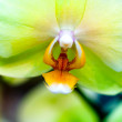 Yellow orchid close-up — Stock Photo