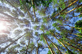 Sunlight through pine trees — Stock Photo