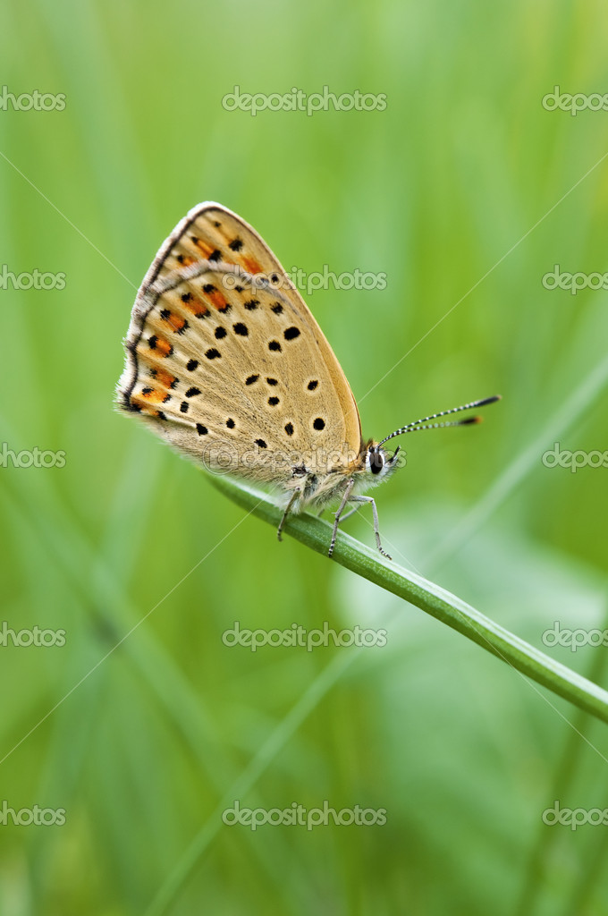 Butterlfy Cacyreus marshalli (Butler) macro on a grass blade — Stock Photo #10118307