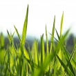 Silhouette of vivid fresh green grass — Stock Photo