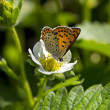 Butterfly on a strawberry flower — Stock Photo