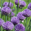 Chives flowers macro — Stock Photo