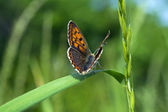 Butterfly macro on a blade o grass — Stock Photo