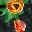 Stock Photo: Tulips close up