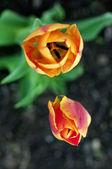Tulips close up — Stock Photo