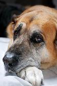 Old lazy dog — Stock Photo