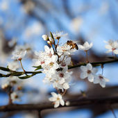 Bee on plum flower — Stock Photo