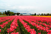Tulip field with pink white flowers — Stock Photo