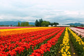 Tulip field with colorful rows of flowers — Stock Photo