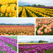 Tulip fields collage — Stock Photo