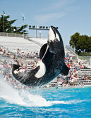 Sea World Orca Whale — Stock Photo