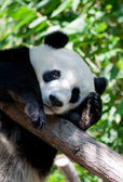 Sleeping panda — Stockfoto