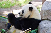 Eatting giant panda — Stock Photo