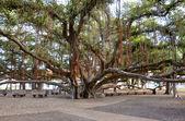 Lahaina Banyan Tree Park — Stock Photo