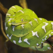 Emerald Tree Boa - Stock Photo