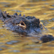 Alligator — Stock Photo #10229012