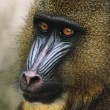 Mandrill - Stock Photo