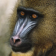 Mandrill — Stock Photo #10229820