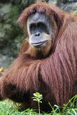 Orangutan (Pongo pygmaeus), Borneo, Indonesia — Stock Photo