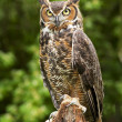 Great Horned Owl — Foto de stock #10499447