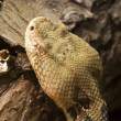 Timber Rattlesnake — Stock Photo #10698223