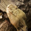 Stock Photo: Timber Rattlesnake