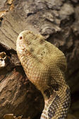 Timber Rattlesnake — Stock Photo