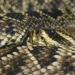 Eastern Diamondback Rattlesnake — Stock Photo
