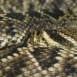 Royalty-Free Stock Photo: Eastern Diamondback Rattlesnake