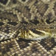 Stock Photo: Eastern Diamondback Rattlesnake