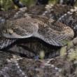 Western Diamondback Rattlesnake — Stock Photo #9185225